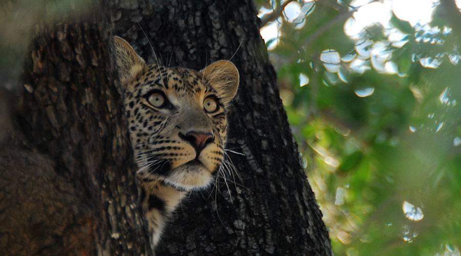 leopardo nel Kruger