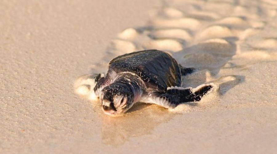 piccola tartariga marina