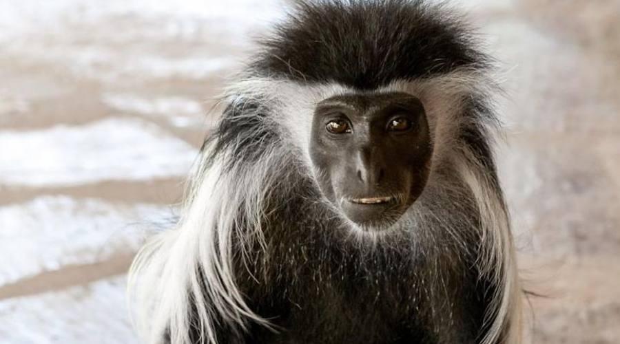 scimmiette della zona