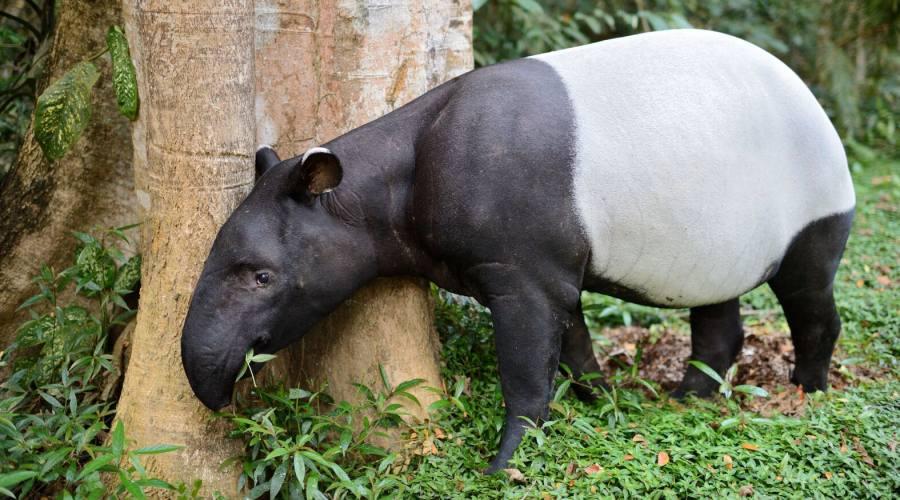 Tapiro al Taman Negara
