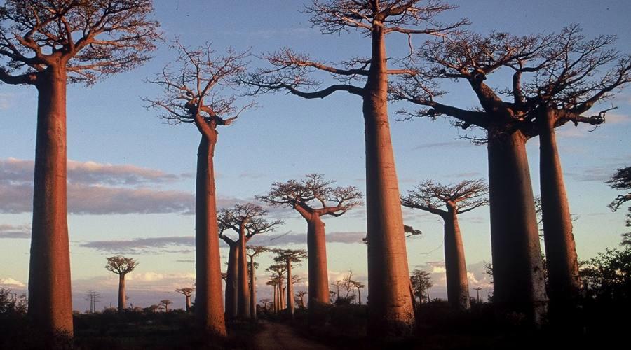 I Baobab
