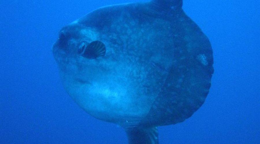 Pesce Mola Mola_Lotus Bungalow Candidasa