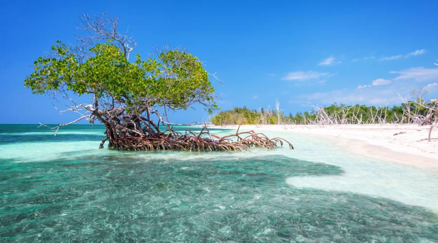 Cayo Levisa, mangrovie