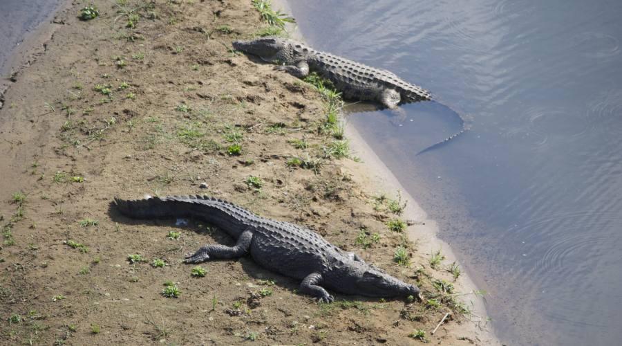 Coccodrilli