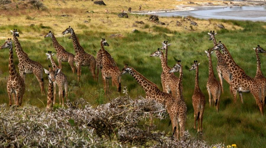 Giraffe nel loro habitat naturale