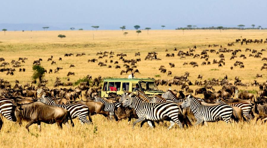 Zebre nel safari