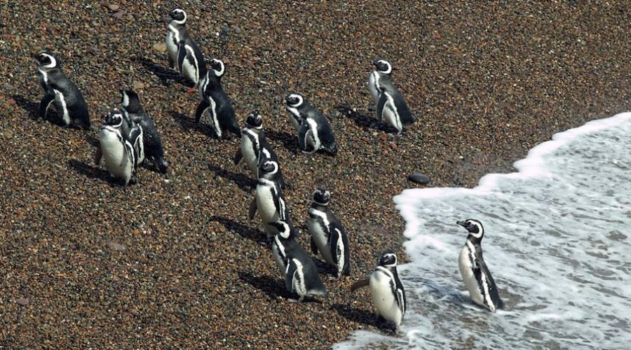 Pinguini di Magellano