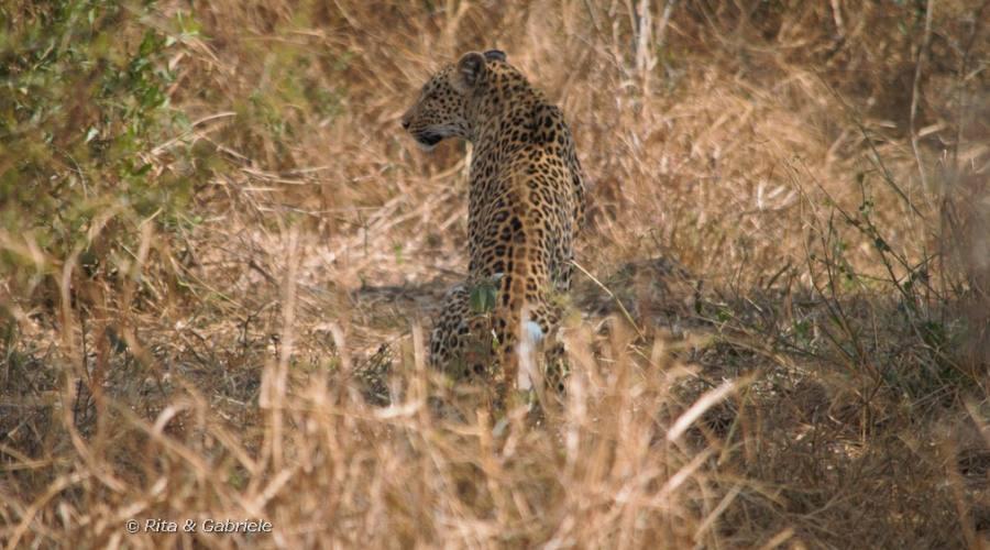 Leopardo in riserva privata