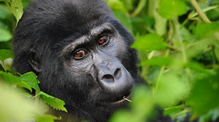 Particolare Gorilla