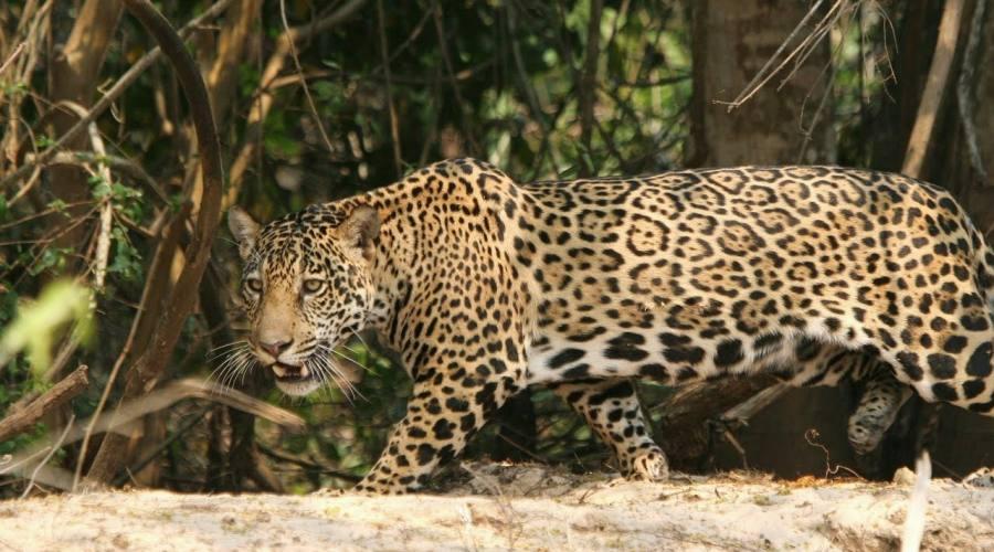 Tour Pantanal Completo e Chapada dos Guimarães: Giaguaro