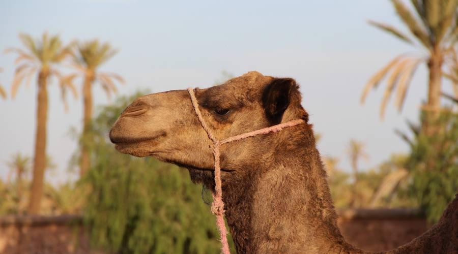 Dromedario nel Sahara