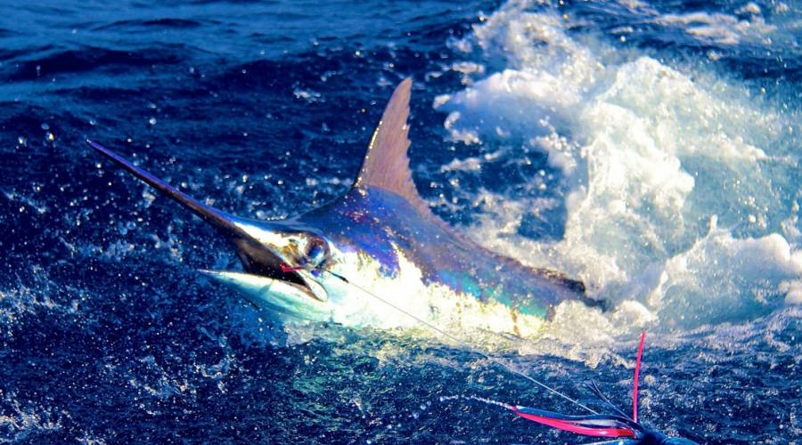 Pesca Blu Marlin a Boavista