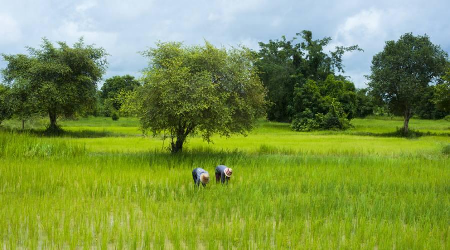Coltivazioni di riso a Battambang