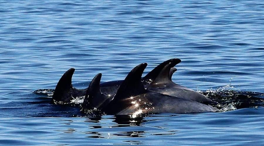 Delfini, Setubal