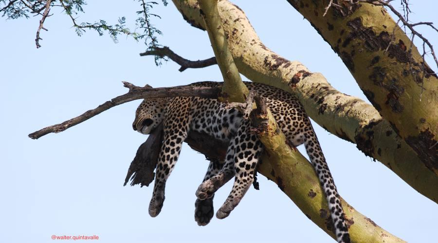 Leopardo a riposo nel Parco del Serengeti