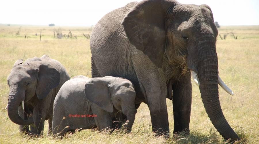Elefantessa con cuccioli