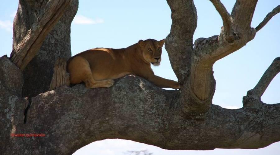 Leonessa su albero