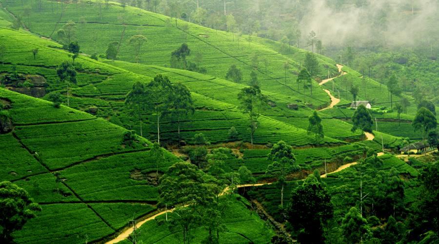 Piantagioni di té