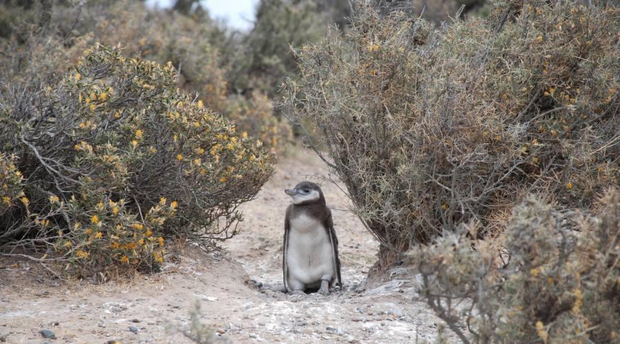 Pinguino di magellano