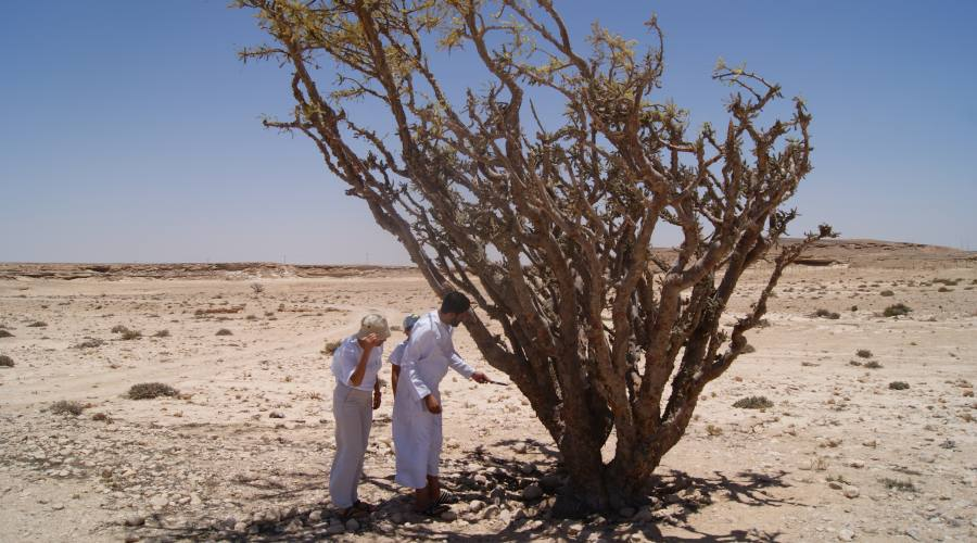 Boswelia Sacra a Salalah (incenso)