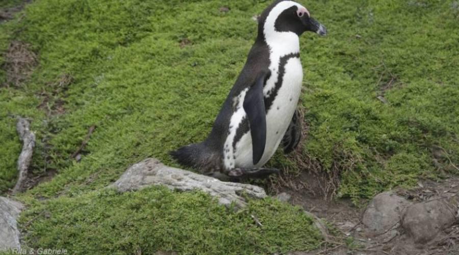 Pinguino del Capo