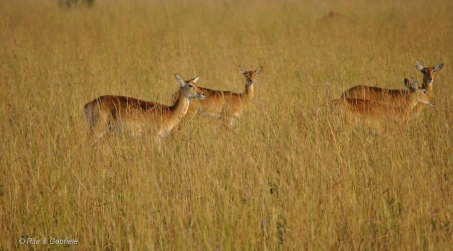 Savana in Uganda