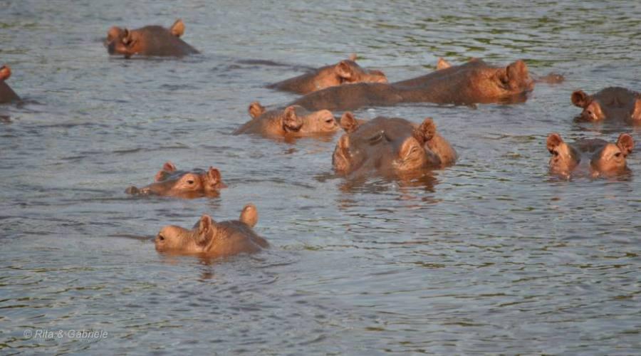 Ippopotami dal boat safari
