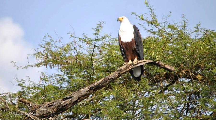 Aquila Pescatrice