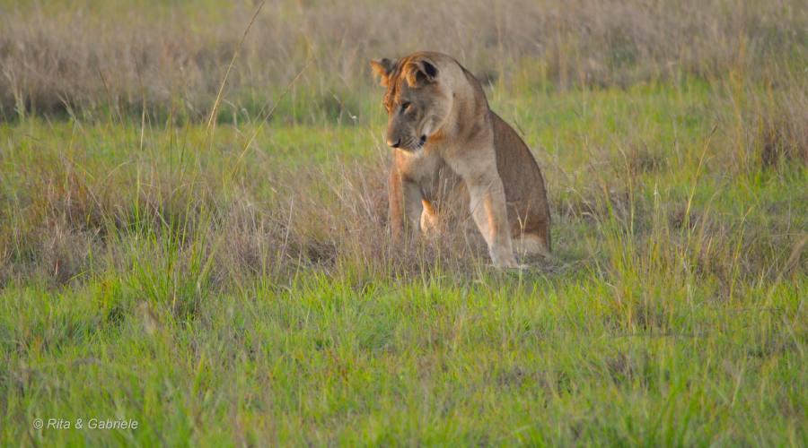 Leone durante un safari