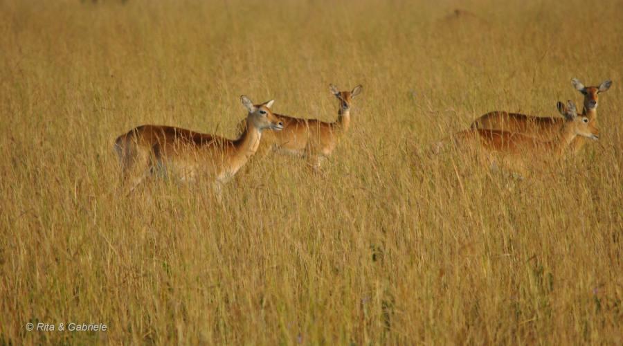 Antilopi nella savana