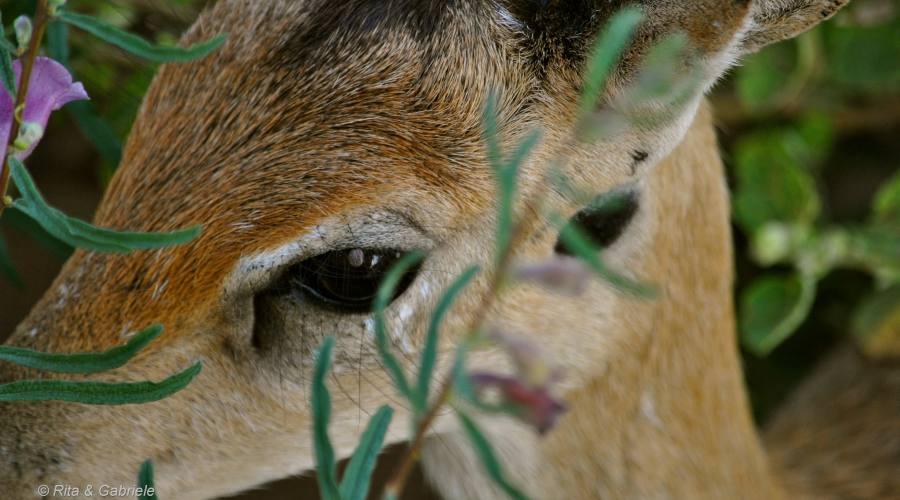 Particolare Antilope