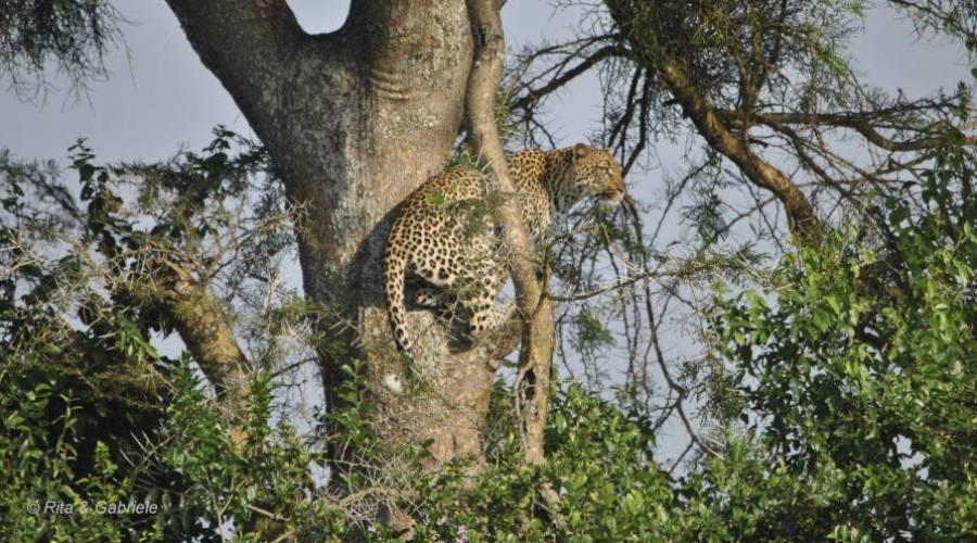 Leopardo al Queen Elizabeth