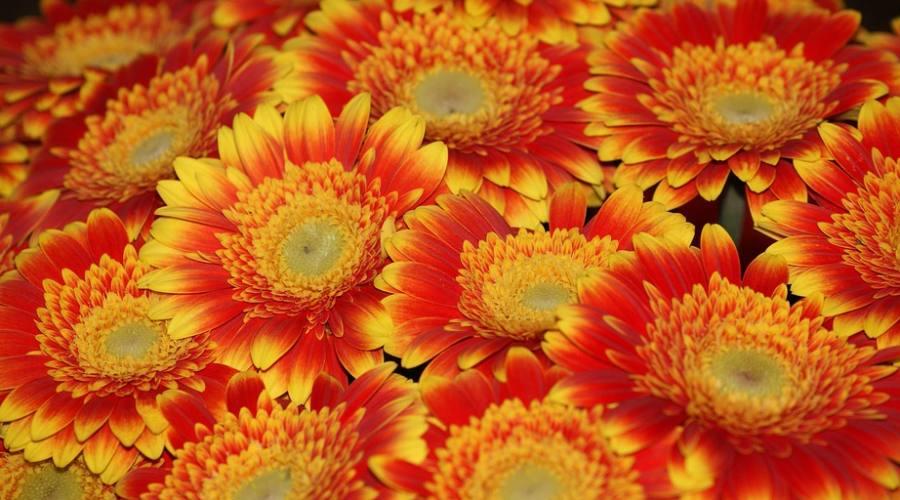 fiori jazd