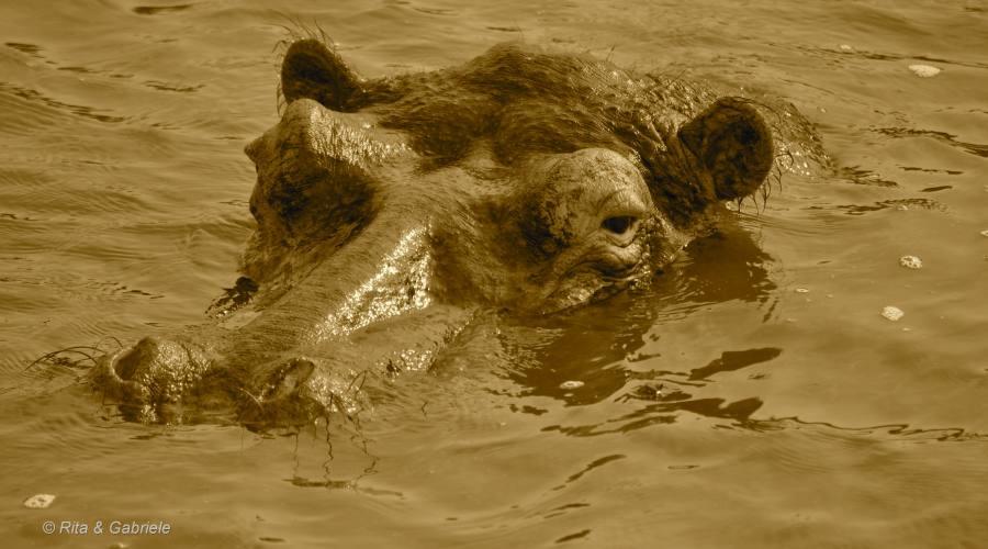 Ippopotamo dal boat safari