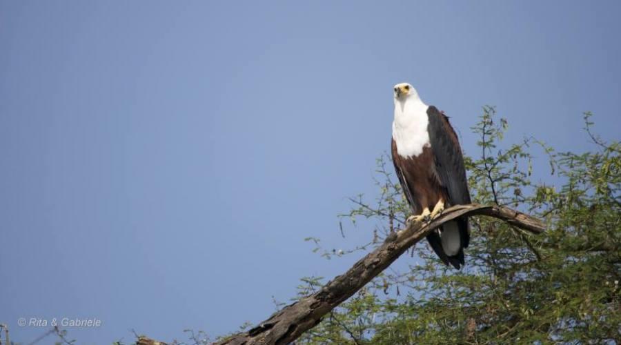 Aquila pescatrice o urlatrice