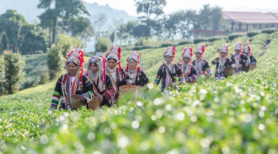 Donne Akha in una piantagione a Chiang Rai