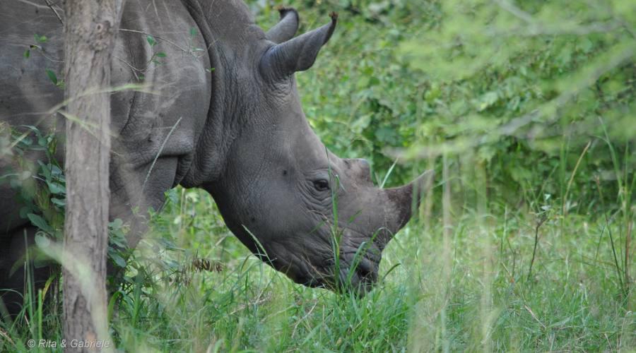 Rinoceronte a Ziwa