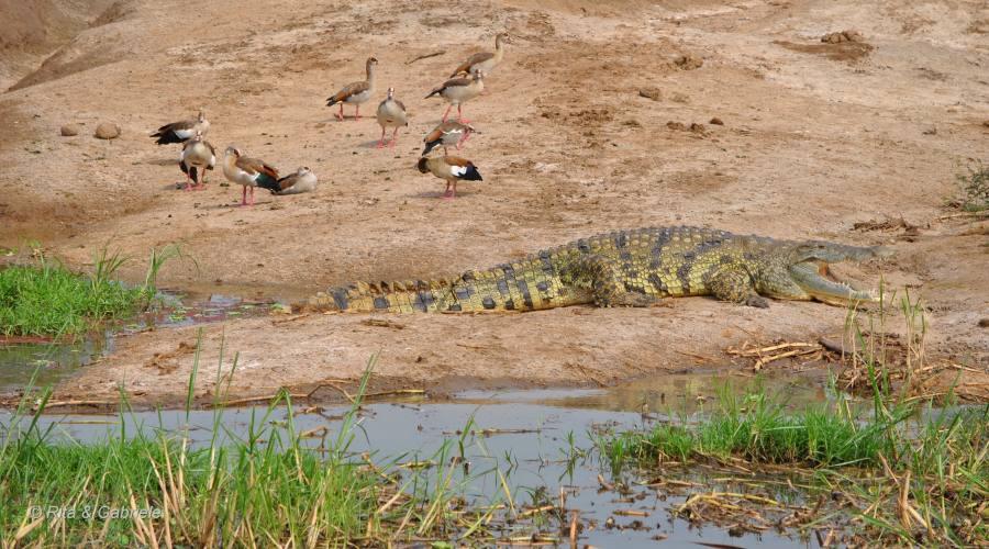 Coccodrillo dal boat safari