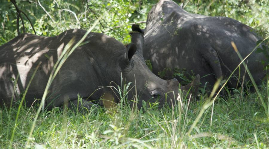 Rinoceronti a Ziwa
