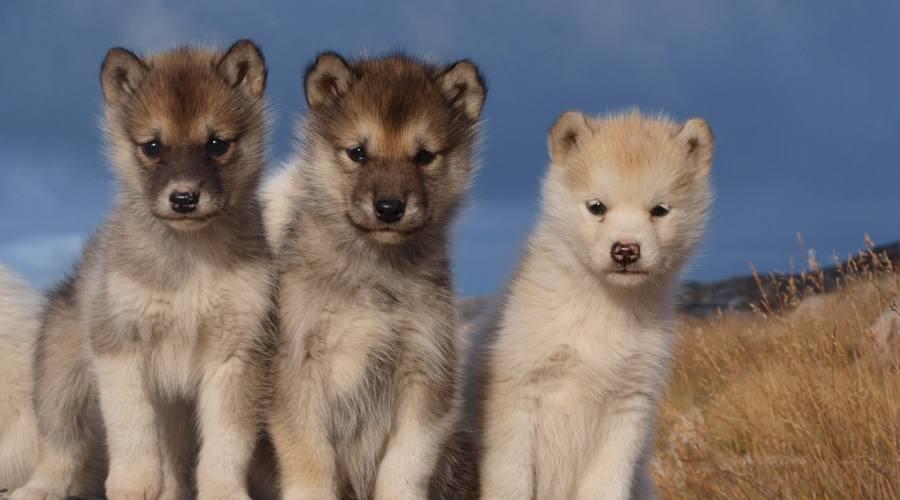Cuccioli di cani da slitta