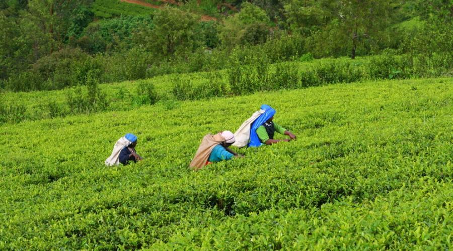 Lavoratrici a Nuwara Eliya
