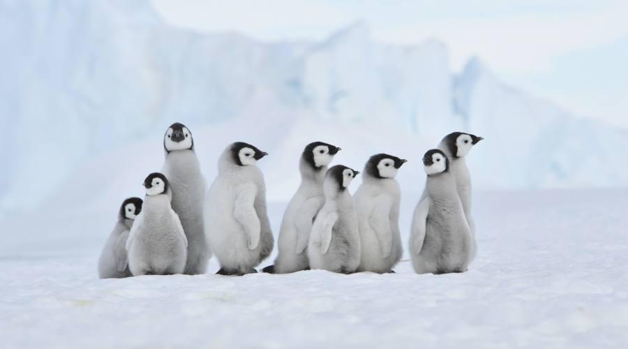 Pinguini di Adelia