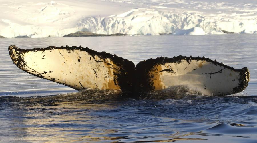Megattera nella penisola antartica