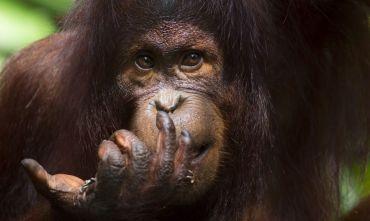 L'essenza del Borneo