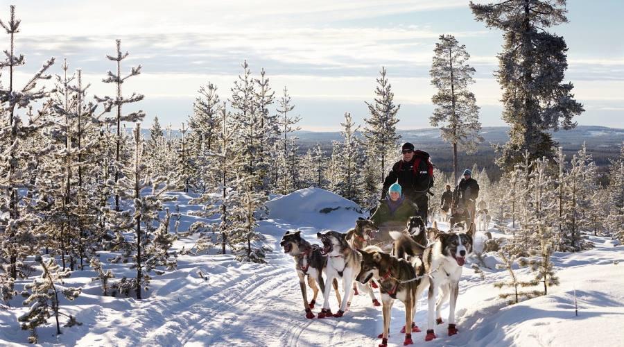 Huskies nella foresta
