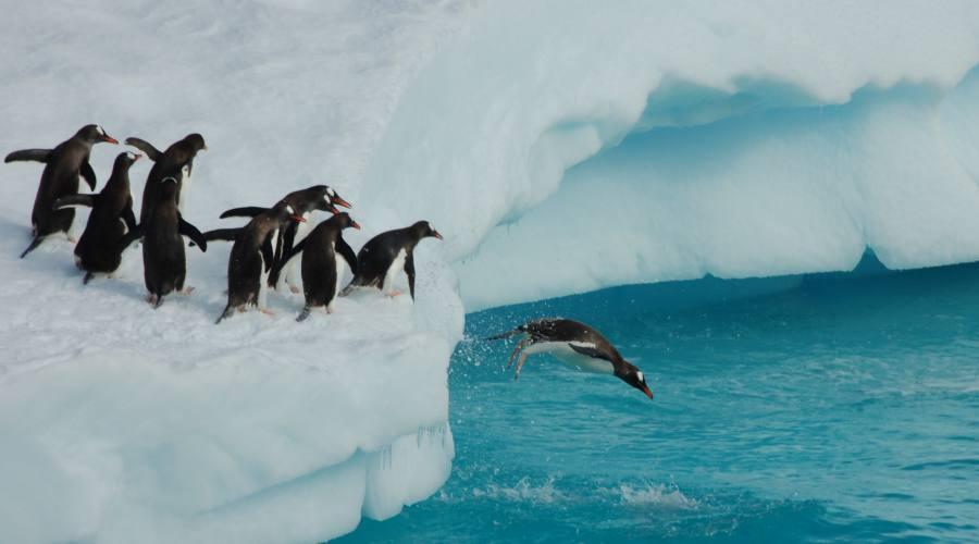 Pinguini Chinstrap che giocano su Iceberg