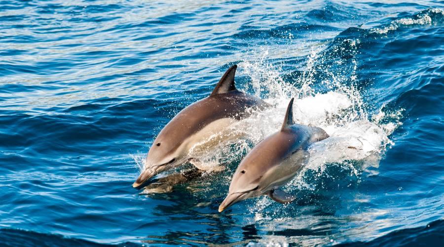 Delfini nell'Oceano - Oman