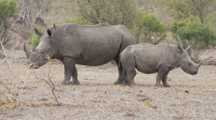 Riinoceronti