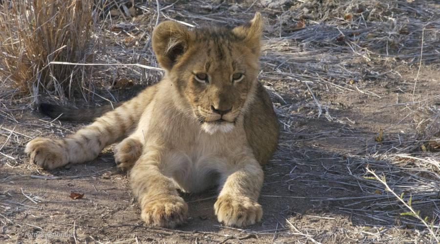 Cucciolo leone al Kruger