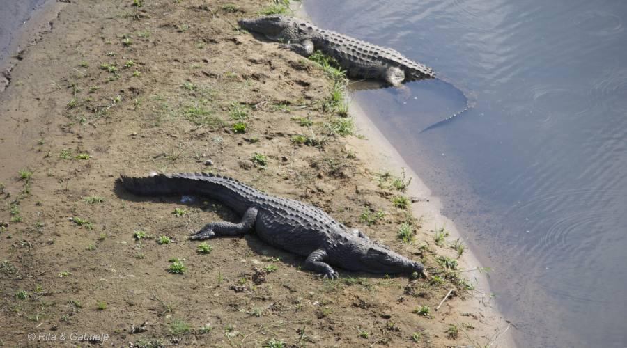 Coccodrilli al Kruger